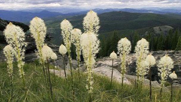 Beargrass (Xerophyllum tenax) profile