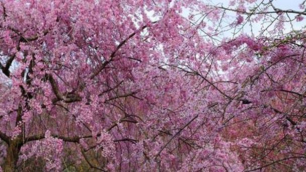 Cherry blossom festival and Cherry blossom varieties