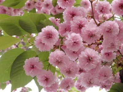 Cherry blossom festival & Cherry blossom varieties