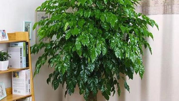 China doll plant (Radermachera sinica) profile