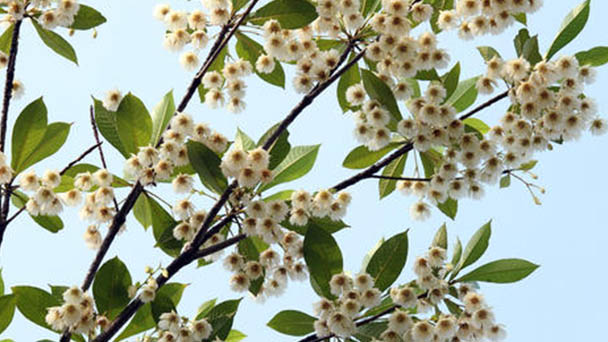 Elaeocarpus sylvestris (woodland elaeocarpus) profile
