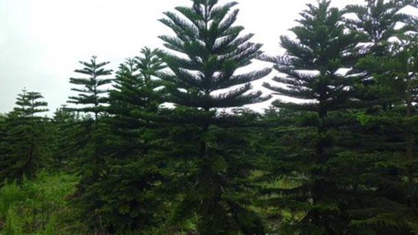 Hoop pine (Araucaria cunninghamii) profile
