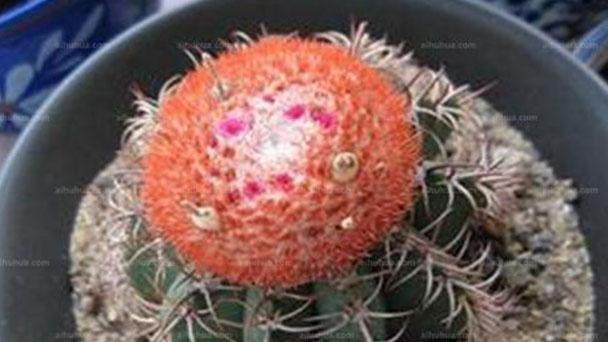 Melon cactus (Melocactus) profile