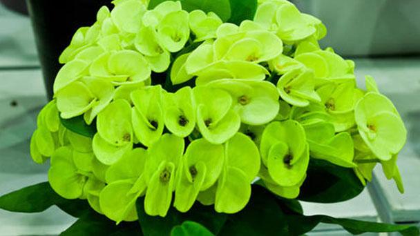 Peking spurge (Euphorbia pekinensis) profile