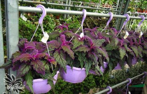 Velvet plants