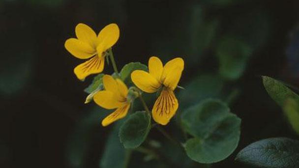 Viola biflora profile
