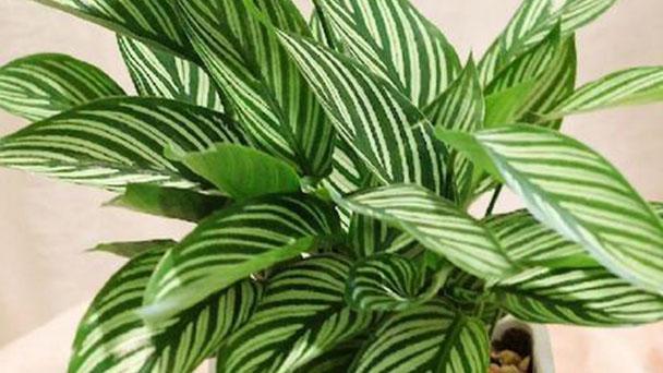 Calathea veitchiana profile