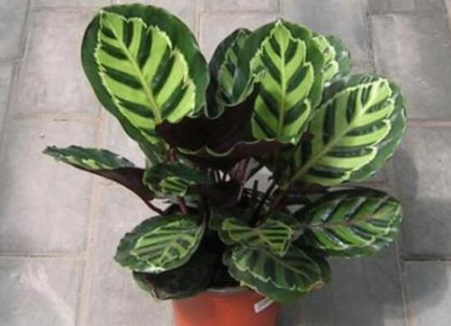 Calathea Veitchiana
