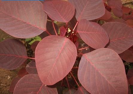 Caribbean copper plant