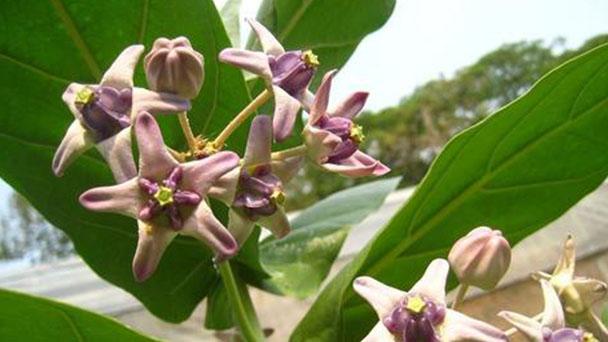 Giant milkweed (Calotropis gigantea) profile