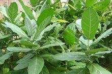 Giant milkweed