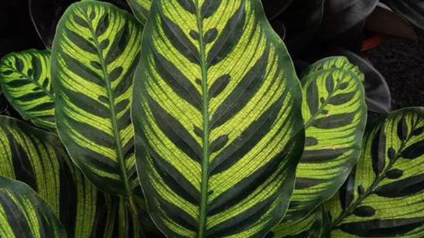 Prayer plant info: how to grow and care for prayer plant