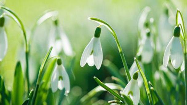 Spring snowflake (Leucojum Vernum) profile