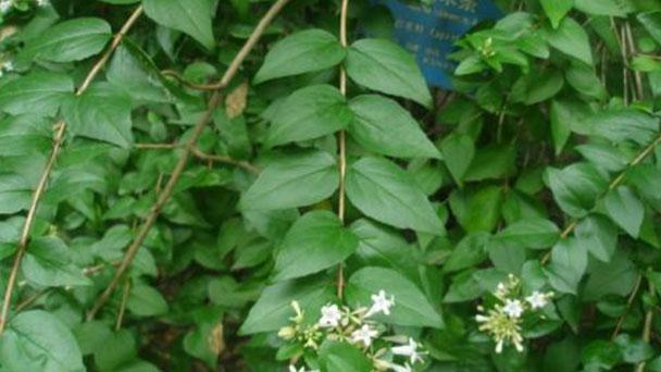 Chinese abelia (Abelia chinensis) profile