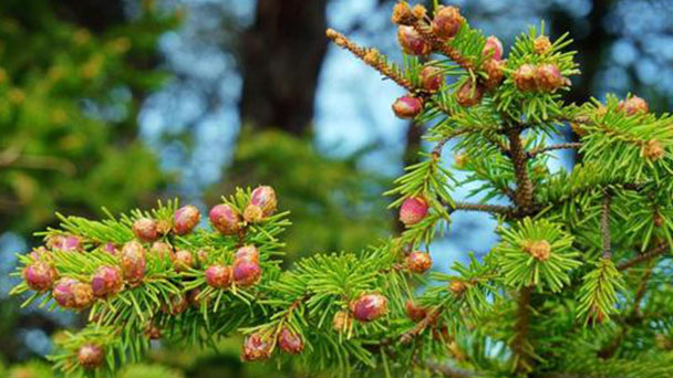 Chinese spruce (dragon spruce) profile
