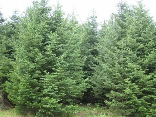 Chinese spruce