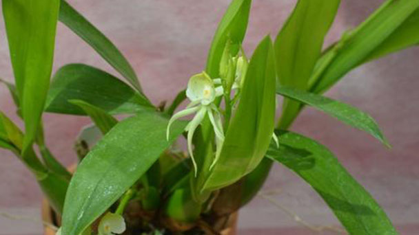 Clamshell orchid info: how to grow and care for Prosthechea cochleata