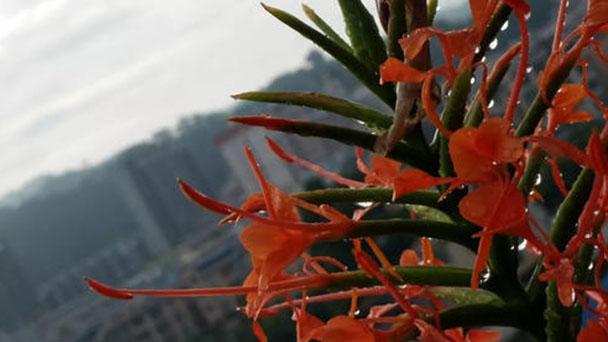 Hedychium coronarium (ginger lily) profile