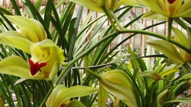 Low's boat orchid (Cymbidium lowianum) profile