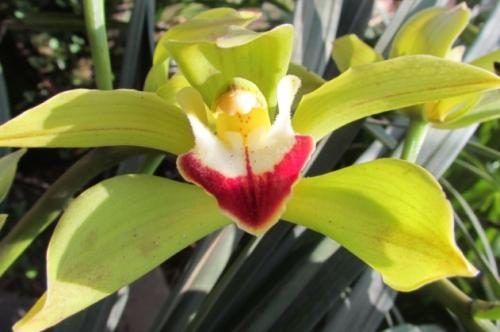 Low's boat orchid