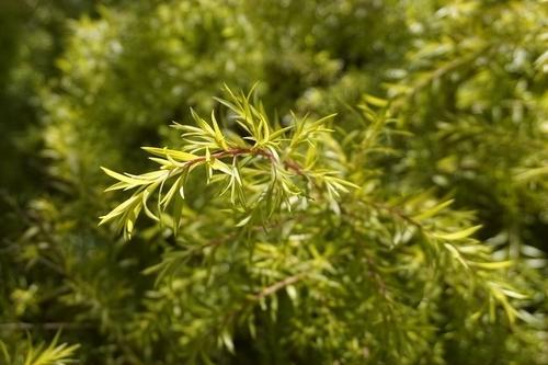 Melaleuca Bracteata