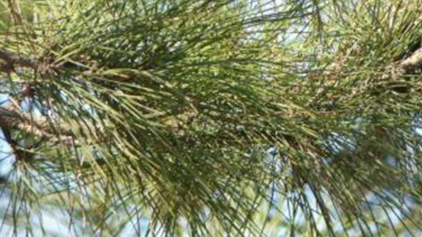 Pinus pinaster (maritime pine) profile