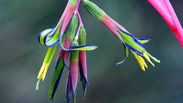 Queen's tears (Billbergia nutans) profile