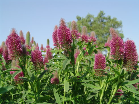 Red feather clover
