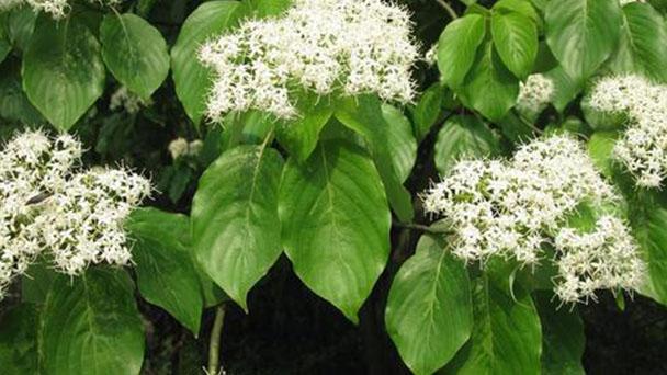 Cornus controversa (wedding cake tree) profile