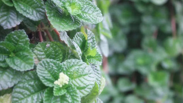 Lemon balm (Melissa Officinalis) profile