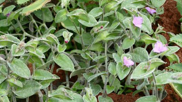 White velvet (Tradescantia sillamontana) profile