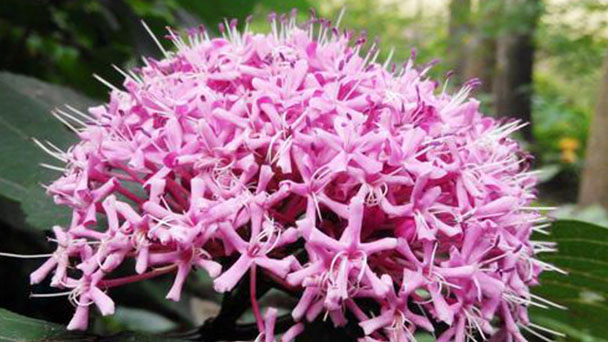 Jersey lily (Nerine sarniensis) profile