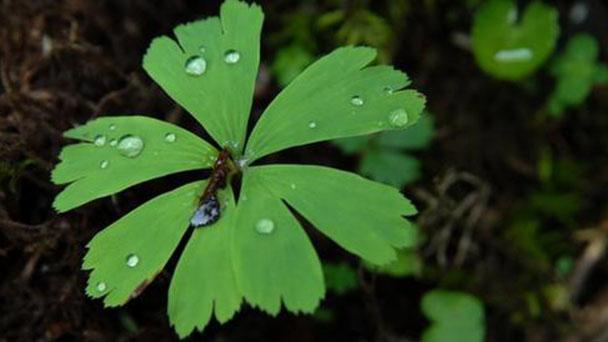 Kingdonia uniflora profile