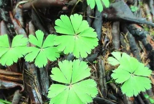 Kingdonia uniflora