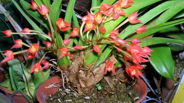 Coconut orchid (Maxillaria tenuifolia) profile
