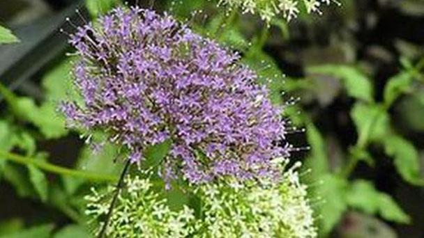Blue throatwort (Trachelium caeruleum) profile