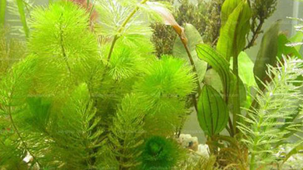 Cabomba caroliniana (Carolina fanwort ) profile
