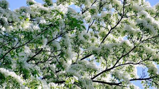Chinese fringe tree (Chionanthus retusus) profile