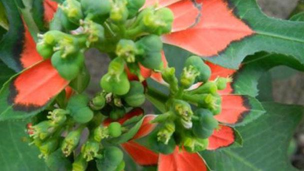 Euphorbia heberophylla (Mexican fireplant) profile