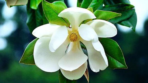 Magnolia wilsonii profile