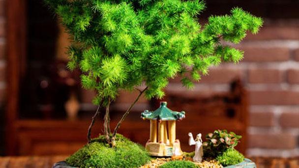 Ming fern (Asparagus myriocladus) profile