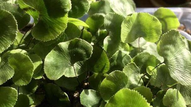 Adiantum reniforme (lotus-leaved maidenhair fern) profile