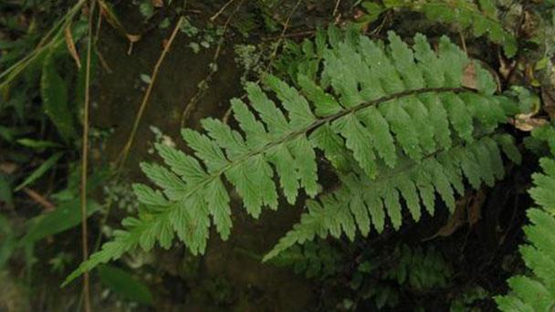 Asplenium trichomanes (maidenhair spleenwort) profile