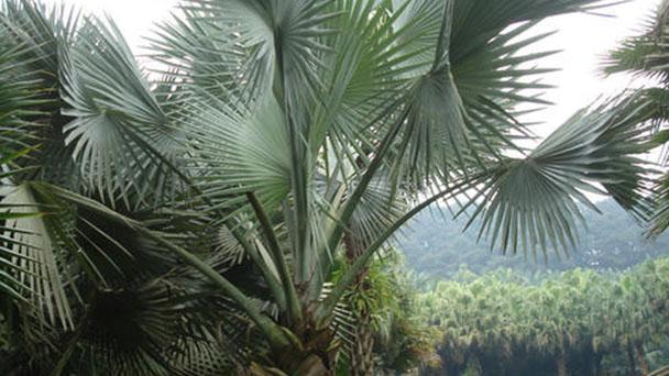 Bismarck palm (Bismarckia nobilis) profile