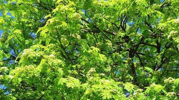 Chinese ash (Fraxinus chinensis) profile
