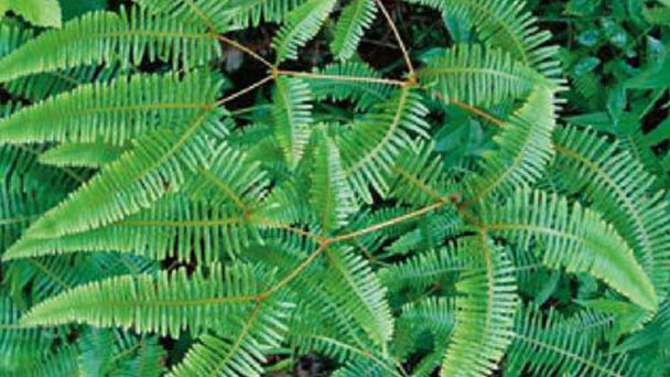 Dicranopteris linearis (Old world forked fern) profile