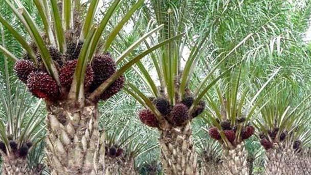 Elaeis guineensis (African oil palm) profile