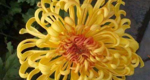 Helipterum manglesii