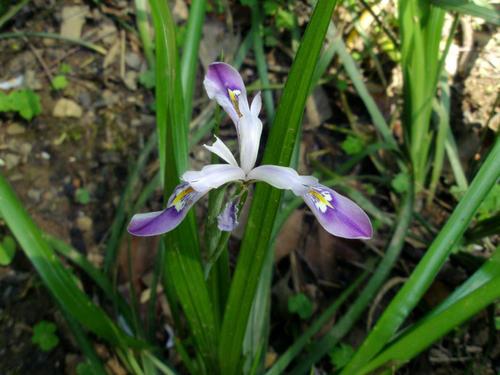 Iris Speculatrix