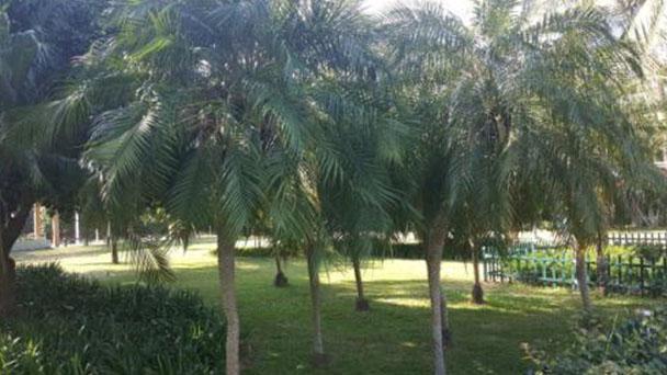Pygmy date palm (Phoenix roebelenii) profile